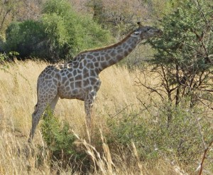 18may15 - drive - giraffe eating