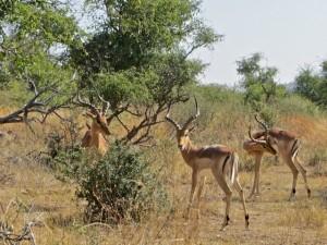 18may15 - drive - impala bucks