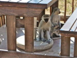 18may15 - drive - monkey family