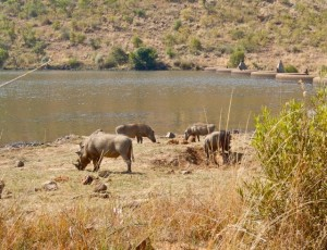 18may15 - drive - warthog family