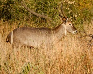18may15 - drive - waterbuck
