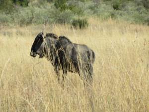 18may15 - drive - wildebeest