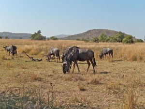 18may15 - drive - wildebeest herd