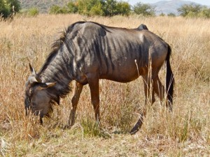 18may15 - drive - wildebeests