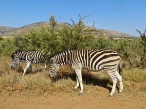 18may15 - drive - zebras
