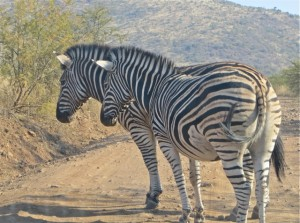18may15 - drive - zebras close -