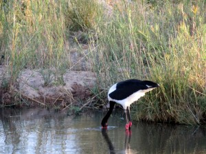June2015 - Kruger - Bird fishing