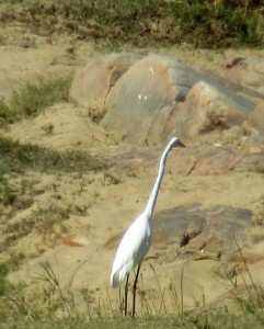 June2015 - Kruger - big white bird