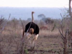 June2015 - Kruger - Ostrich