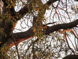 June2015 - Kruger -Owl tree