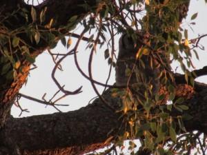 June2015 - Kruger - Owl....