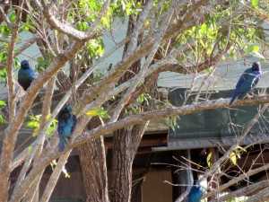 June2015 - Kruger - 4 starlings in tree by deck