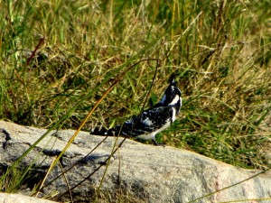 15June15 -Kruger Trip - Black and White Bird on Rock