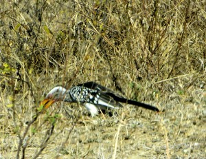 15June15 -Kruger Trip - Black and White Bird with Yellow Beak