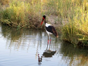 15June15 -Kruger Trip - Big Water Bird with Orange Beak
