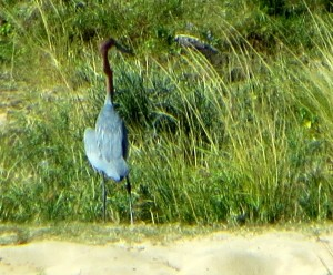 15June15 -Kruger Trip - Big Blue Heron