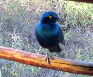 15June15 -Kruger Trip - One Leg Starling