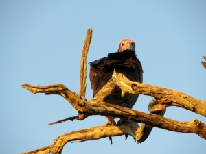 15June15 -Kruger Trip - LS - Buzzard