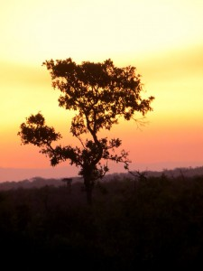 15June15 -Kruger Trip - LS - Sunset Tree