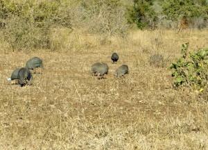 15June15 -Kruger Trip - LS - Crested Guinea Fowls