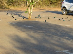 15June15 -Kruger Trip - LS - Starlings in parking lot